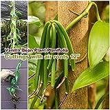 FERRY Bio-Saatgut Nicht nur Pflanzen: Vanilla B Planifolia 100 Samen Samen mit Luft Seed 12' lang DIY