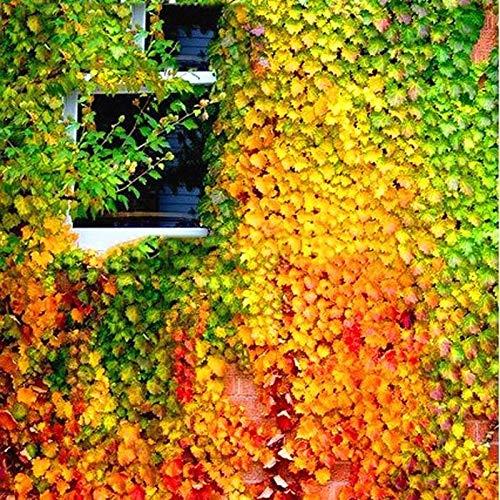 Tomasa Samenhaus- 50 Stück Parthenocissus Kletterpflanzen,Efeu Strampler Zier pflanzen Saatgut winterhart mehrjährig Garten,Haus,Wand Deko Anti-Strahlen-Samen