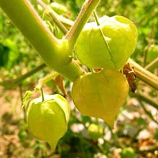 Heirloom Ground Cherry Husk Tomto Golden Berry Seeds 60+ Outsidepride Cape Gooseberry Physalis Peruviana Golden Berry Plant (Yellow)