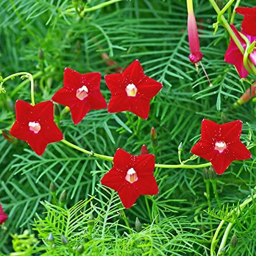 Fuduoduo Semillas EcolóGicas AromáTicas,Plumas de floración de Cuatro estaciones-200PCS_Red,Perenne Resistente Semillas