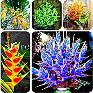 100PCS Jaune Pitaya Semences Bonsai Plant Tree House Herb Jardin Pot de Fleur Décor