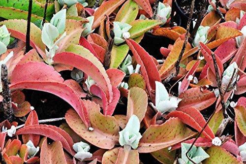 Kalanchoe Gastonis-Bonnieri, Eselsohren Pflanze exotische Succulenten seed -15 SEEDS