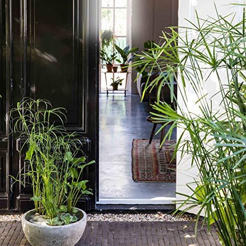 Qulista Samenhaus - Rarität 100pcs Zyperngras Luftreinigende Pflanze Zimmerpflanzen Blumensamen winterhart mehrjärhig für Kübel auf Balkon und Terrasse