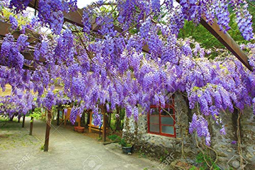 Purple Wisteria Plant Live- Spectacular Blue Moon Wisteria Vine Plant 6-12' Tree in Height and in a 3' Pot