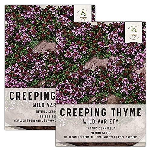 Seed Needs, Wild Creeping Thyme (Thymus serpyllum) Twin Pack of 20,000 Seeds...