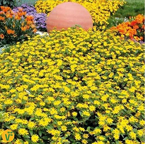 Yukio Samenhaus - Rarität Gelb Husarenknopf 'Solaris' kriechend Bodendecker blühfreudig Balkon- und Kübelpflanze Blumensamen exotisch mehrjährig winterhart im Pflanzenbeet Steingärten