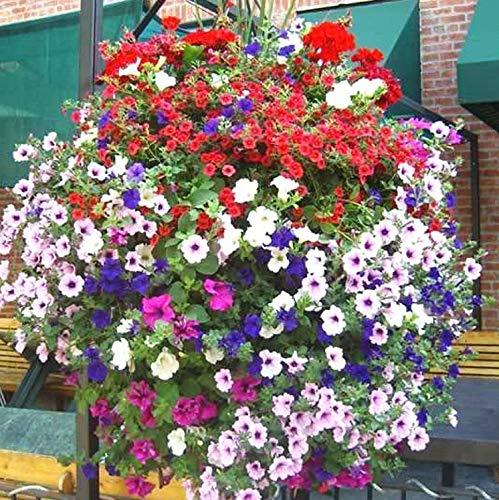 La petunia colgante es una planta para colocar en macetas colgantes y decorar tu balcón o terraza. Las petunias con flores vívidas y continuamente en floración desde la primavera hasta las heladas. Muy adecuadas para cultivarse en lechos de flores, p...