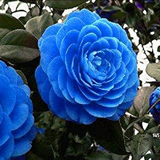 Rare blue Camellia seed pots flower seeds tree plants, Rare Blooming Bonsai Potted Garden Plant Easy to Grow 10pcs/ bag