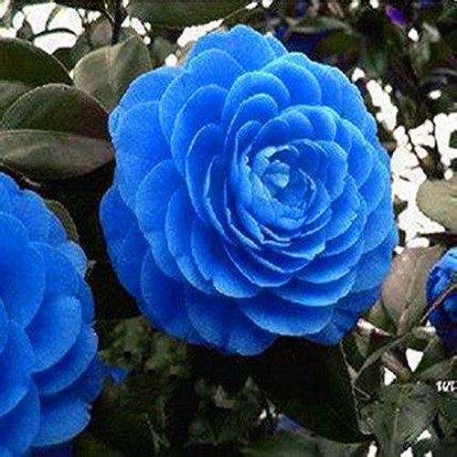 pots de graines rares bleu Camellia graines de fleurs des plantes, des arbres rares Blooming Bonsai Garden Potted plante facile à cultiver 10pcs / sac