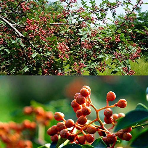 Starter Plants of 8-10cm Tree Online Nursery 2X SECHUAN or Japanese Pepper Trees Zanthoxylum piperitum Spice Plants Edible Fruit and Seed