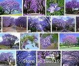 semillas del árbol de la flor de 100 PC azul púrpura Jacaranda Mimosifolia árbol arbustos, flores! Planta Bonsai Garden