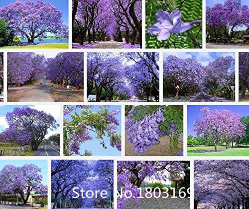 graines d'arbres de fleurs 100 pcs Bleu Violet flamboyant bleu Arbre Arbuste, Fleurs! Jardin Bonsai Plante