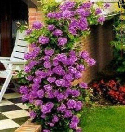 Shopvise Meistverkaufte hochwertige lila Kletterrose für Hausgarten 100 Samen/Pack: 12