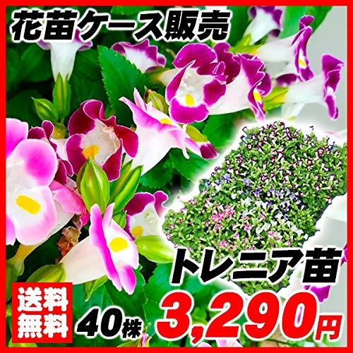 国華園 花苗 トレニアケース販売 1ケース40株入り /21年春商品