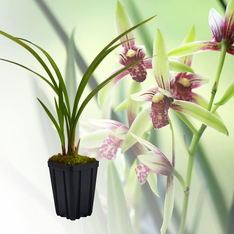 Live Orchid Plants JIANLAN- Easy Popular standard ensifolium Care Cymbidium OFFicial store Orchi