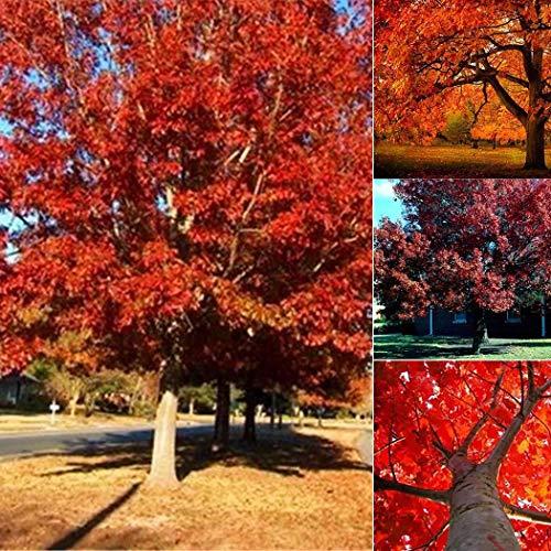 Acecoree Samen Haus Dichte Harte Beschaffenheit, die Boden Material Eichen Baum Samen verziert