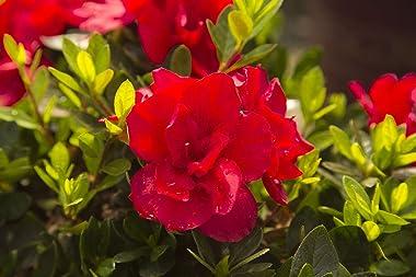 Encore Azalea Bush - Autumn Bonfire Red Azaleas - Live Potted Evergreen Dwarf Shrub - Fresh Reblooming Flowers for Delivery (