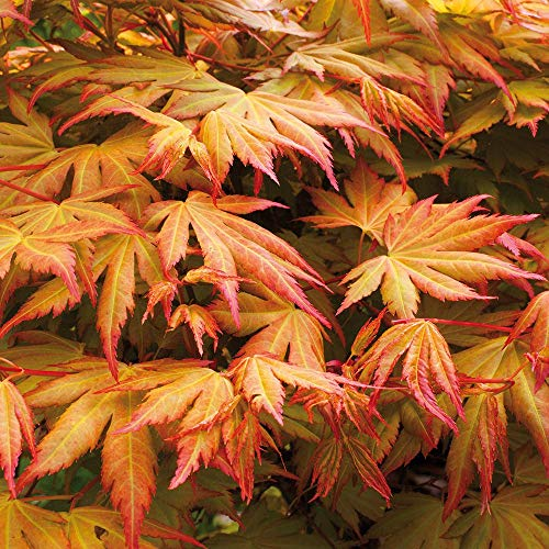 YouGarden Acer Palmatum Orange Dream Plant, 3 Litre Pot