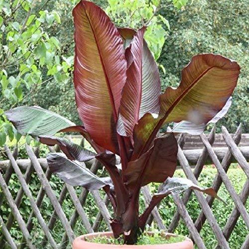 rote Zierbanane 80-100 cm Ensete ventricosum Maurelii - Abessinische Banane