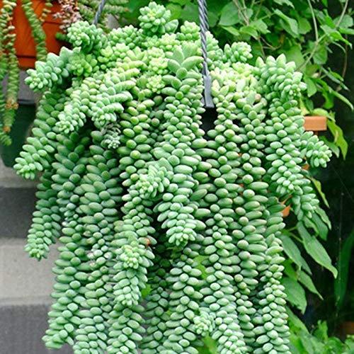 CER0T Egrow 100 piezas/paquete Sedum suculentas semillas de plantas en maceta Flores radiación carnoso Bonsai