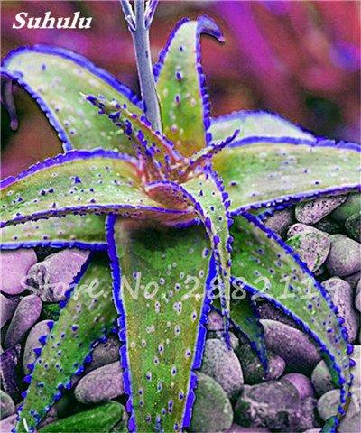 50 Pcs Aloe Vera Graines Beauté comestibles cosmétiques colorés Bonsai Cactus Succulentes Plantes Fleurs Légumes Fruits Graines Pour Balcon 5