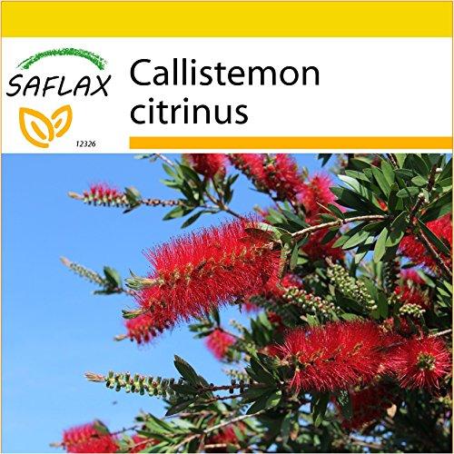 SAFLAX - Set per la coltivazione - Callistemo - 400 semi - Callistemon citrinus