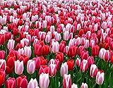 HASENCIV Pintura de Diamante DIY para Adultos Flores de la casa de los tulipanes Bricolaje Diamond Painting 30x40cm Rhinestone Bordado de Punto de Cruz Artes Manualidades Lienzo Pared Decoraci