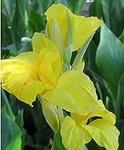 (5) Beautiful Yellow Flowering Canna Lily Fresh Top Size Rhizomes/Bulb/Plant
