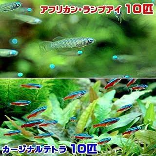 (熱帯魚)アフリカン・ランプアイ Sサイズ(10匹) + カージナルテトラ(ワイルド)(10匹)(計20匹) 北海道・九州・沖縄航空便要保温