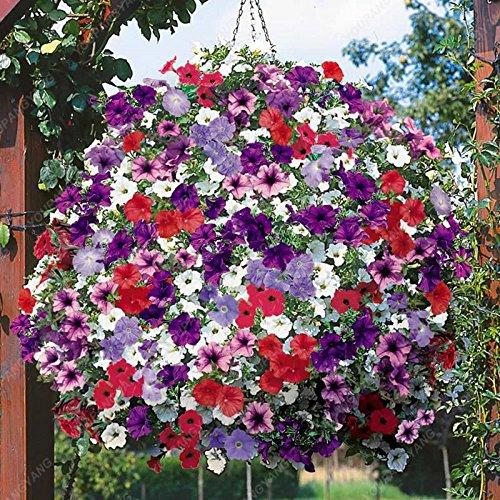 100 pcs graines de pétunia graines rares fleurs de pétunia vivaces ornementales jardin potager plantes en pot graines bonsaï fleur pourpre
