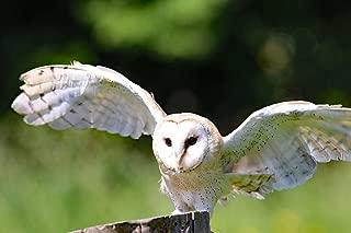 LAMINATED 36x24 inches POSTER: Barn Owl Owl Bird Barn Animal Wildlife Nature Wild Predator Raptor Hunter Nocturnal