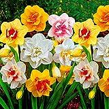 25x Narcissus   25er Mix Blumenzwiebeln Narzissen   Osterglocken Zwiebeln   Blumenzwiebeln Frühblüher   Ø 12-14cm