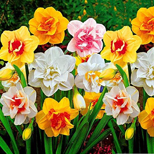 25x Narcissus | 25er Mix Blumenzwiebeln Narzissen | Osterglocken Zwiebeln | Blumenzwiebeln Frühblüher | Ø 12-14cm