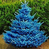 100 Unids Colorado Cielo Azul Abeto Picea Pungens Glauca Semillas De árboles Decoración De Jardín Semillas De Plantas De Jardín Semillas de Picea Pungens
