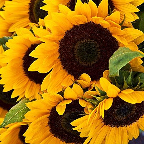 Best Summer Flower in the US -Sunflower