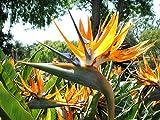 30 semillas de aves del paraíso, Strelitzia reginae Floración exótica flor de la semilla de la grúa