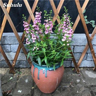 100pcs Belles aromatiques gypsophile Graines vrai étoilées fleurs en pot Gypsophila paniculata All Over The Star Sky Bonsai Fleur 11