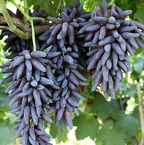 graines de gros Green Grape fruit doux et délicieux raisins de fructification bonsaïs Villa 100 graines/Pack 7