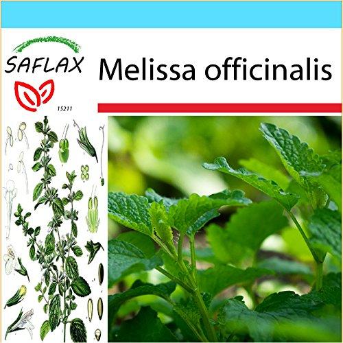 SAFLAX - Kit cadeau - Mélisse officinale - 150 graines - Melissa officinalis