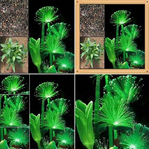 Mggsndi 100Pcs Rare Emerald Fluorescent Flower Seeds Night Light Emitting Plants Garden - Heirloom Non GMO - Seeds for Planting an Indoor and Outdoor Garden