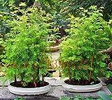 Semillas Bonsai Bonsai árbol secoya de amanecer Grove Metasequoia glyptostroboides DIY fácil de cultivar un huerto de 50 partículas / lot