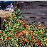 Kings Seeds - Nasturtium Climbing Mix - 40 Seeds