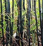 50 Raras Negro Planta de bambú Semillas de privacidad Jardín Agrupar la sombra de pantalla exótico