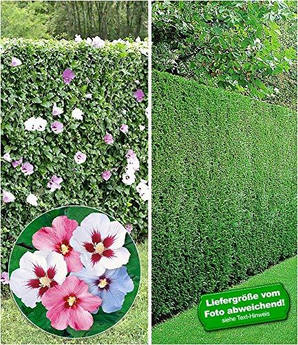 BALDUR-Garten Gemischte Hecken-Kollektion, 10 Pflanzen 5 Pflanzen Hibiskus-Hecke und 5 Pflanzen Leyland-Zypressen-Hecke