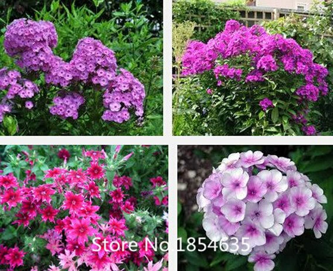 2016 New Perennial Bonsai Seed Plant phlox seeds 100pcs- Bonsai Flower Seeds Beautifying Garden Plant Promotion