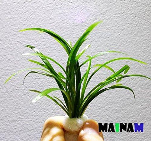 Mainam Dwarf Sagittaria Subulata Carpet Freshwater Live Aquarium Plants Decorations 3 Days Live Guaranteed