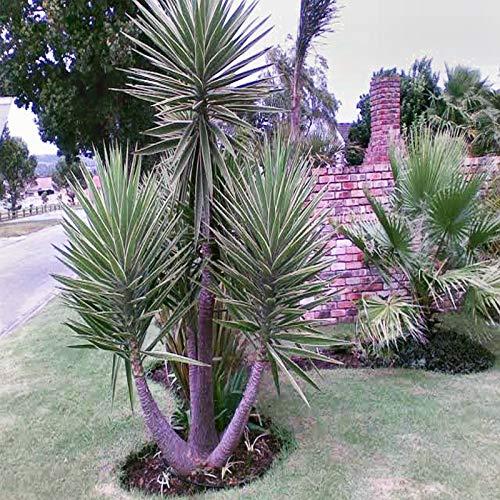 FERRY HOCH KEIMUNG Seeds Nicht NUR Pflanzen: SpanishSeeds Yucca aloifolia Blüte Seed 10 Seed Pack