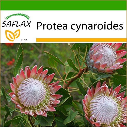 SAFLAX - Königsprotea - 5 Samen - Mit keimfreiem Anzuchtsubstrat - Protea cynaroides