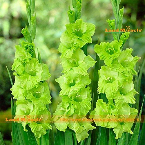 Les Fleurs du monde de Green Star 'glaïeul Seeds, 50 graines/Paquet, vert Showy Lily pour jardin Plantation Floraison précoce