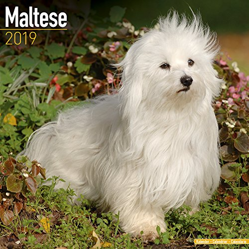 Maltese Calendar - Dog Breed Calendars - 2018 - 2019 Wall Calendars - 16 Month by Avonside